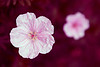 Close-up portrait of a pink geranium flower