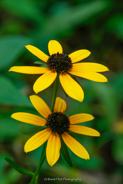 DF.4332 - Black-eyed Susans, Tom Dorman State Nature Preserve, Garrard County, KY.