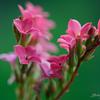 Pink in Green - Dunwoody, Atlanta - USA