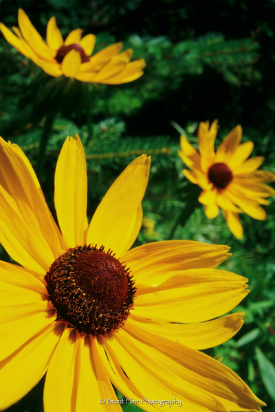 S.3818 - Black-eyed susans, Itasca County, MN.