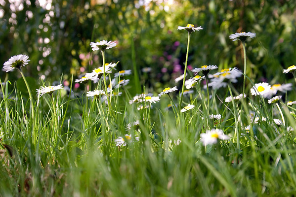 English Meadow Flowers