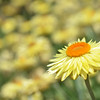 Yellow Everlasting Daisy meadow