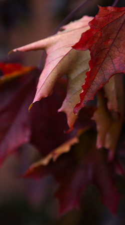 Autumn Leaves IV