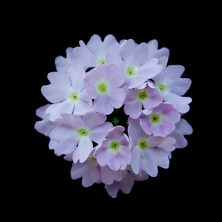Verbena flowers. Formal, macro close-up.
