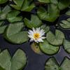 """Marliacea Albida"" Waterlily"
