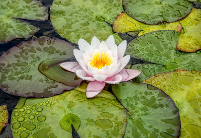 Water Lily, Pink single flower, Horizontal, Soka 17