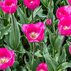 """Don Quichotte"" Tulip"
