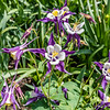 Fan Columbine Flowers