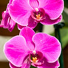 """Orchid Twins"""