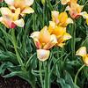 """""""Blushing Beauty"""" Tulip"""