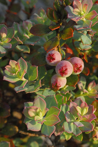 Blueberries in the Florida Scrub