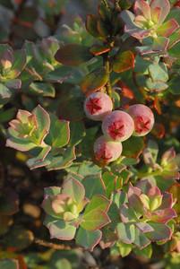 Blueberries in the Florida Scrub