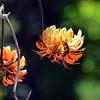 Australian native Pine Mountain Coral Tree flowers