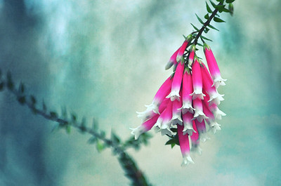 Fuchsia Forest Bells