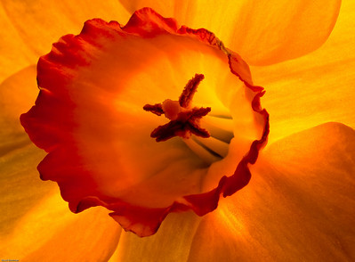 Close-up of a backlit daffodil