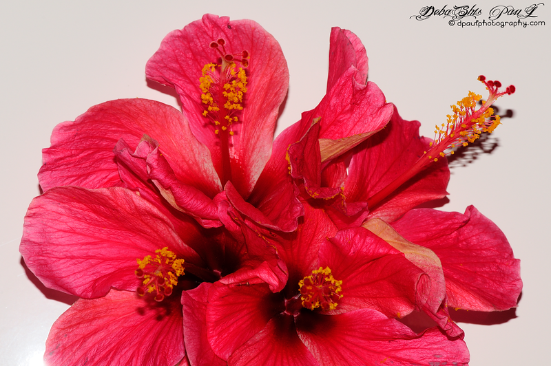 A special and giant Hibiscus from my Apartment Garden @ Kolkata