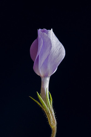 Macro portrait of a lilac Phlox flower against a Black Background.