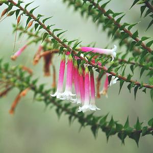 Australian Fuchsia Heath II