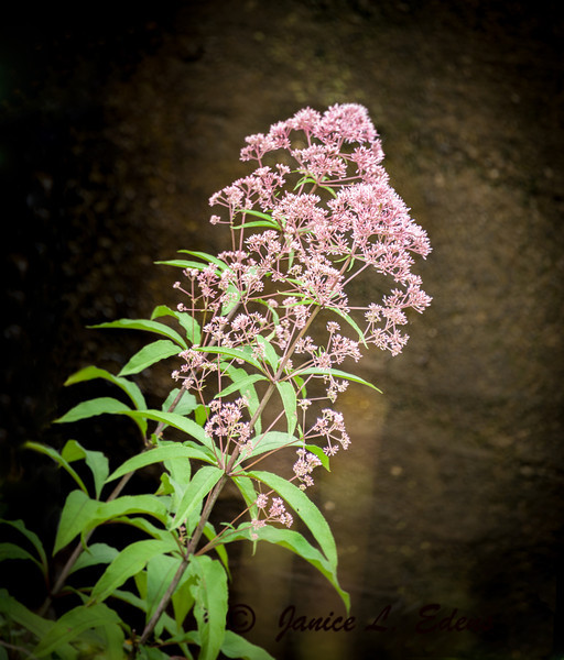 """Joe Pye Weed in Dawson County, GA"""