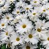 """Ivey Isle"" Chrysanthemum"