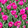 """""""Don Quichotte"""" Tulip"""