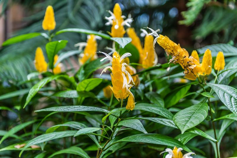Golden Shrimp or Lollipop Flower
