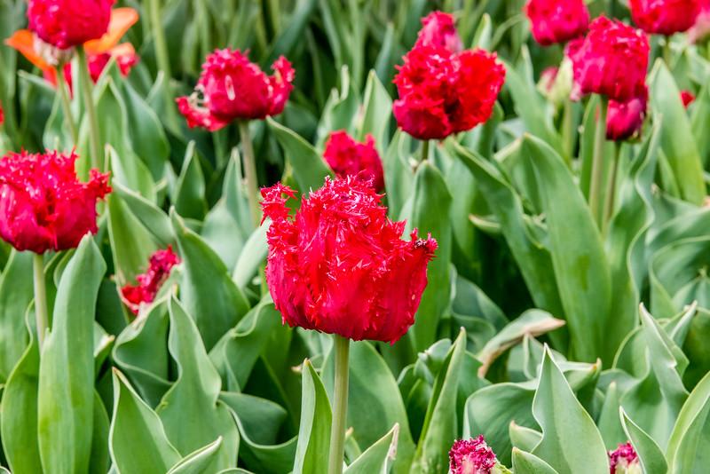 """""""Barbados"""" Tulip"""