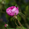 Purple Rose, Rose Garden Forst, Oberlausitz, Germany