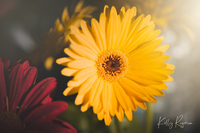 Sunshine glowing, no breeze in the air, and a gorgeous morning surrounded by gerber daisies.