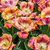 """Sunset Miami"" Tulip"
