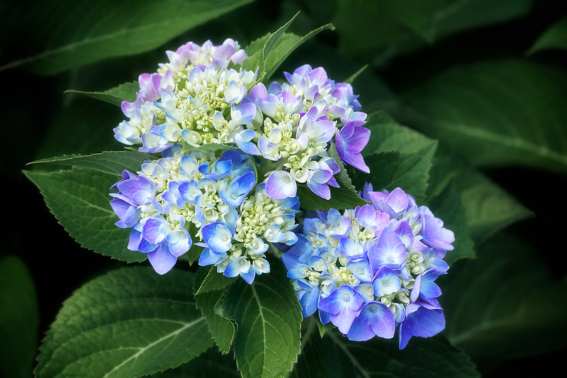 Hydrangeas Purple and Blue