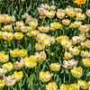 Peony-Flowered Yellow Tulips