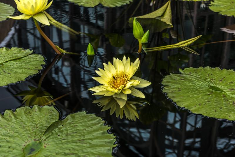 """Yellow Dazzler"" Waterlily"