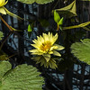 """Yellow Dazzler"" Waterlily"