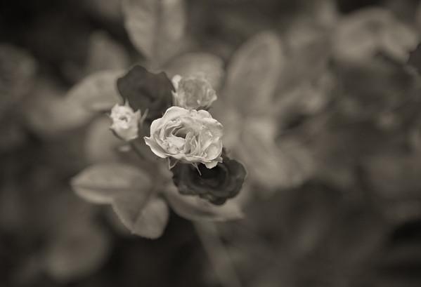 White Rose in Center