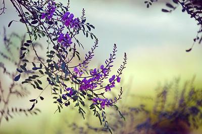 Dreamy Australian Indigo flowers I