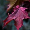 Autumn Leaves V