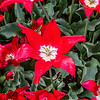 Red Lily-Flowered Tulip