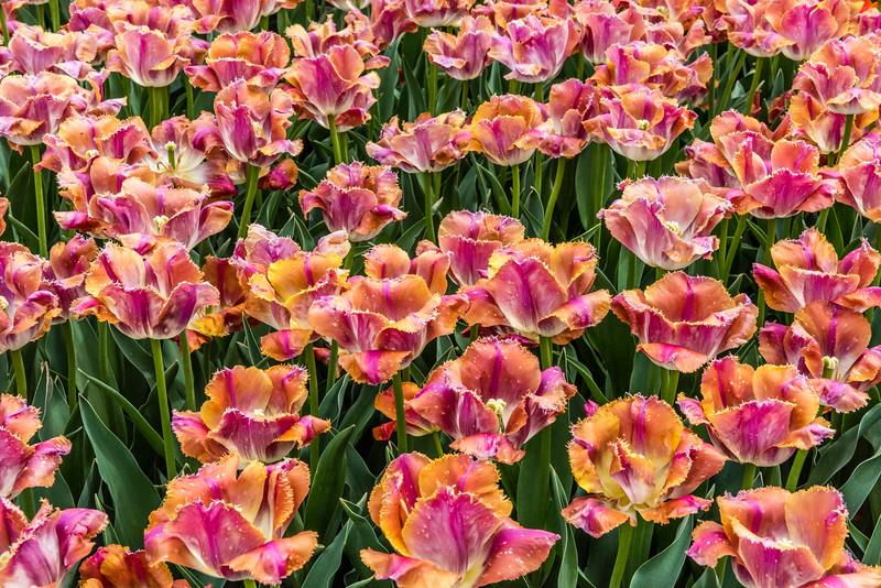 """""""Sunset Miami"""" Tulips"""