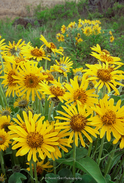 S.4774 - Arrowleaf Balsamroot, Turnbull National Wildlife Refuge, WA.