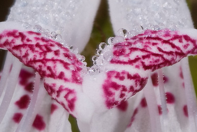Detail of morning dew on the flower of the Lake Placid Scrub Mint, a rare and endemic species of the Lake Wales Ridge