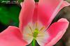 My Sweet Pink Tulip @ Atlanta Botanical Garden - Georgia , USA