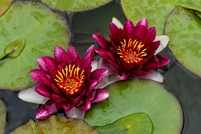 2 Waterlilies Dark Red, Horizontal, Soka, 19