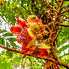 Cannonball Flower (Couroupita guiansis)
