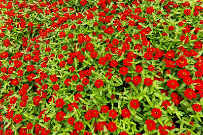 Red Zinias, Longwood Gardens 01