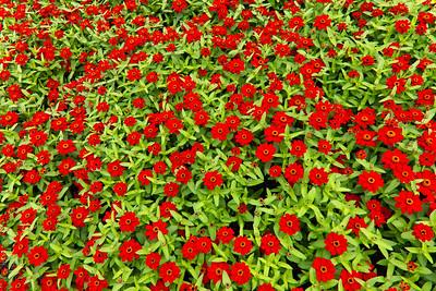 Red Zinias, Longwood Gardens 01