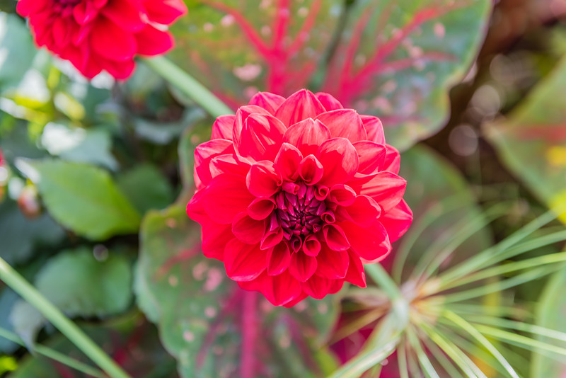 Rounded Red Dahlia