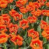 """Orange Toronto"" Tulip"