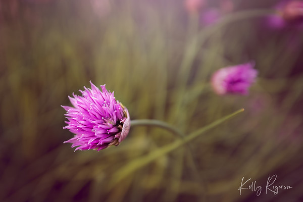 Chive In Bloom