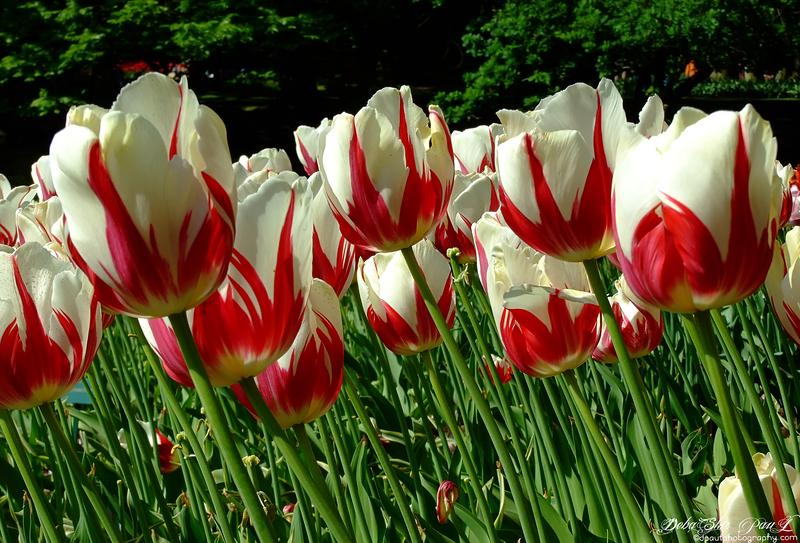 Keukenhof Tulip Garden , Amsterdam - Netherlands